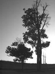Black white tree by wolfen