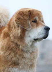 Cenge the Tibetan Mastiff by SaNNaS