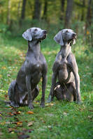 Silver dogs by SaNNaS