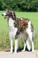 Russian Wolfhound by SaNNaS