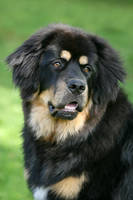 Vada, the Tibetan Mastiff by SaNNaS