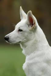 White shepherd pup by SaNNaS