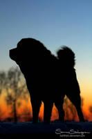 Tibetan Mastiff in sunset by SaNNaS