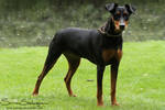 Moa the Pinscher by SaNNaS