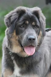 Kiara, Tibetan Mastiff by SaNNaS