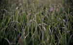 Grassfield by JonasEklundh