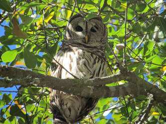 Barred Owl by 7sv