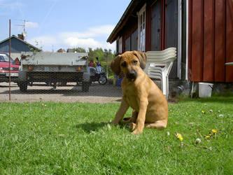 Rhodesian Ridgeback puppy by Draug88