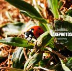 Ladybird  by SnappyShelly