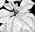 Poinsettia- black and white by RosieKitten