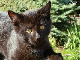 a young black cat by KlaraHawkins