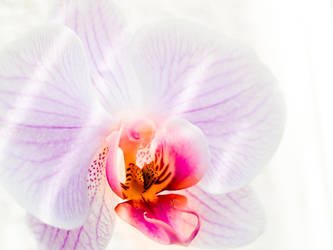 orchid by Miingno