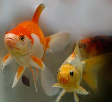 Goldfish by alimuse