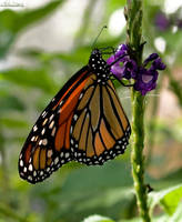 Monarch by alimuse