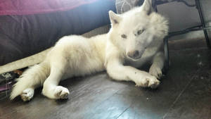 White wolf Softmount SOLD by AdarkerNEMISIS