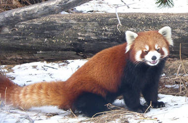 Red Panda by aquarion21