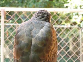 Falcon by HimeRikkina