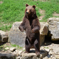 brown bear I by mimose-stock