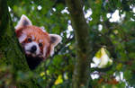 Red Panda 2 by tpphotography