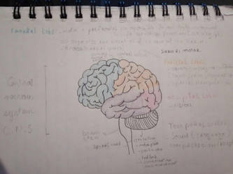The brain and some different lobe by sirisse