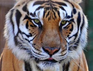 Face of a tiger by NB-Photo