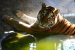 Tigress Sophie by NB-Photo