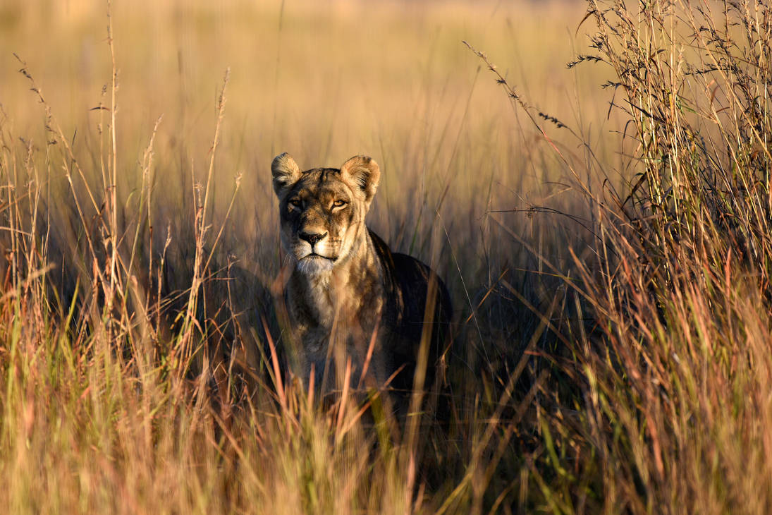 Worries of a lioness by NB-Photo