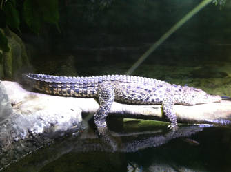 A sleeping aligator by tursiops33