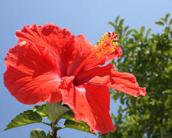 Hibiscus by Magnolianna