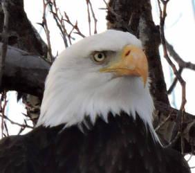 Jackson Hole Snake River Eagle by Aeflin