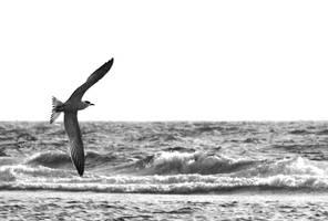 bird acrobating BW by BobTass