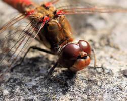 Dragonfly macro 2 by Vitaloverdose