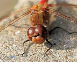 Dragonfly macro 3 by Vitaloverdose