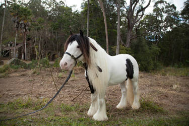 Gypsy horse stock #1 by melinahollway