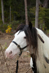 gypsy horse stock #3 by melinahollway