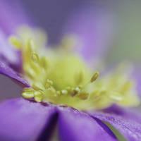 Anemone by Wysseri