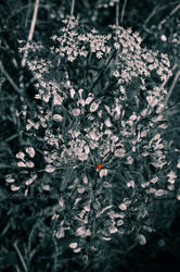 Coccinelle by Suue-pics
