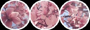 [FREE TO USE] Magnolia - Circular by randomkiwibirds