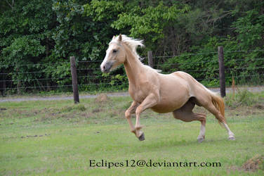 Palomino horse leaping by eclipes12