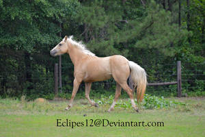 Palomino horse trotting by eclipes12