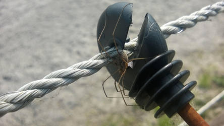 Stable Spider on an Electric Fence by SavantGuarde