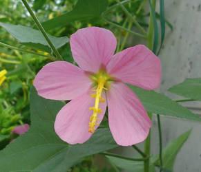 Hibiscus and malvaceae by AANGELOO