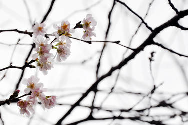 Cherry Blossoms in early January by my-little-photoworld