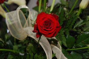 Red rose2 by s3xyyy