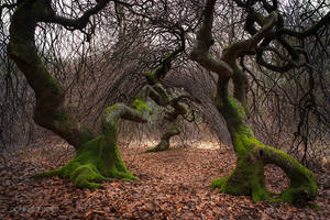 Twisted beeches by dominique-merot