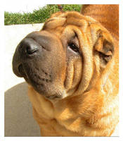 Shar pei beauty by Bunnybunbunbunee