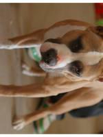an amstaff puppy by Bunnybunbunbunee