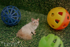 Miniature Himalayan Cat * Handmade Sculpture * by ReveMiniatures