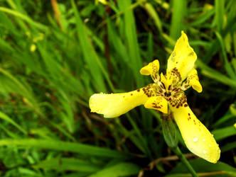 Yellow Iris by countocram