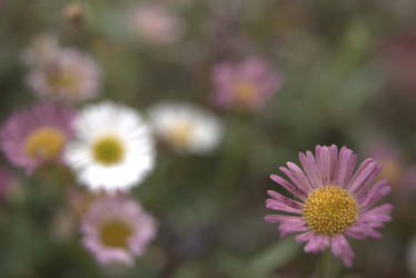 Daisy Flower by wasge